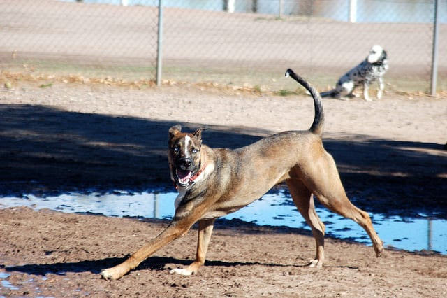 Archie Running Dog Park in Tucson