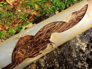 Drain pipes damaged by tree roots needing replacement