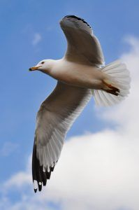 seagull_in_flight