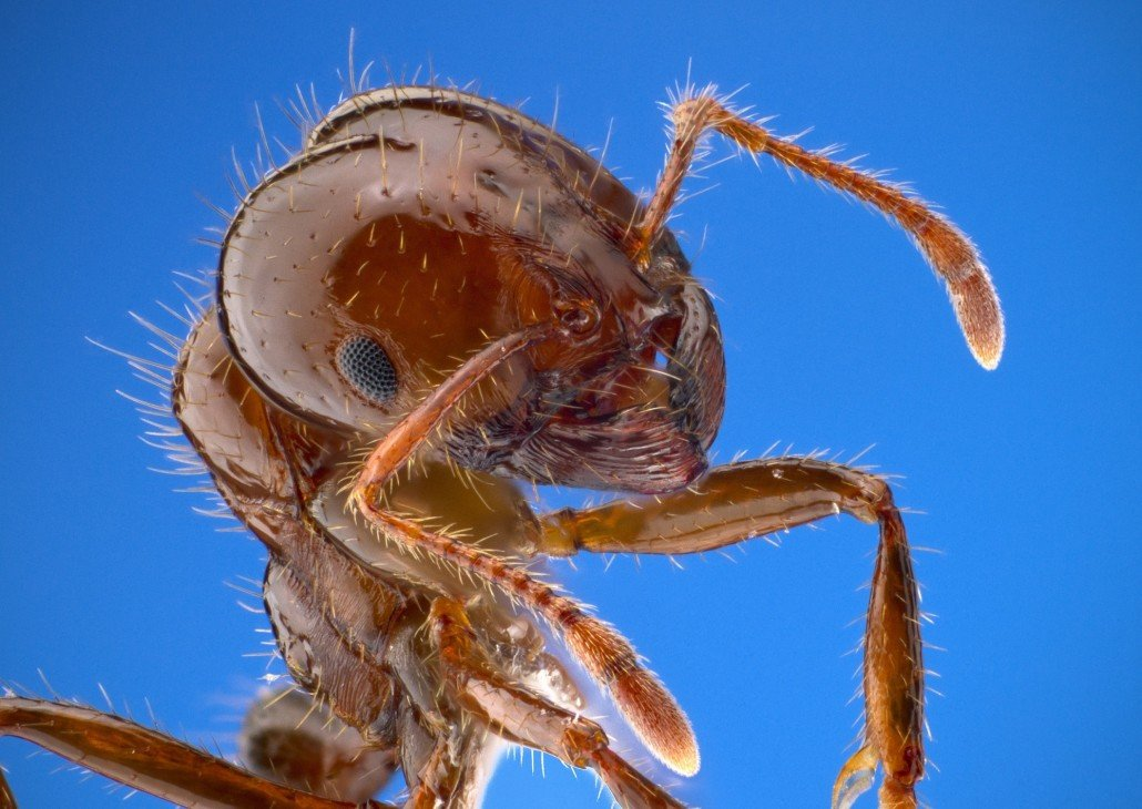 fire-ant-10913011-1030x730