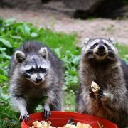 raccoon infestation pest control