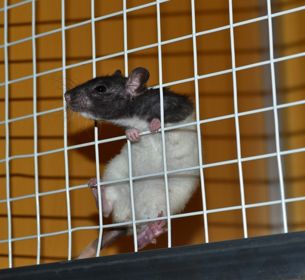 Vancouver rodent control can help house owner prevent rats